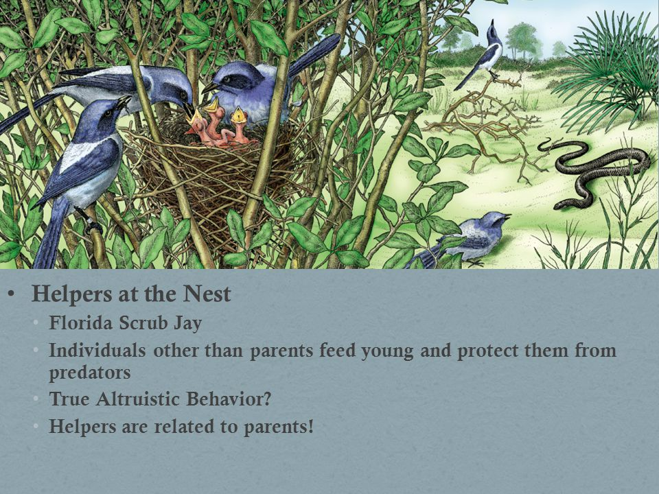 Helpers at the Nest Florida Scrub Jay