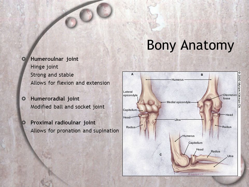 Bony Anatomy Humeroulnar joint Hinge joint Strong and stable