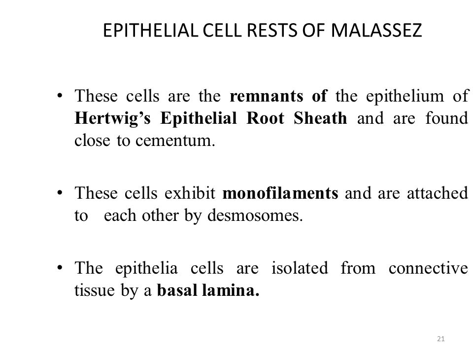 EPITHELIAL CELL RESTS OF MALASSEZ