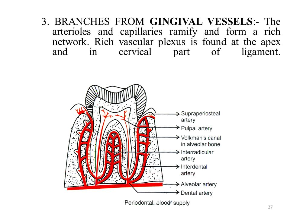 3. BRANCHES FROM GINGIVAL VESSELS:- The arterioles and capillaries ramify and form a rich network.