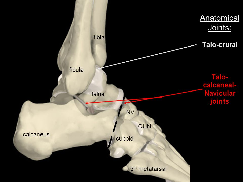 Anatomical Joints: Talo-crural Talo-calcaneal-Navicular joints