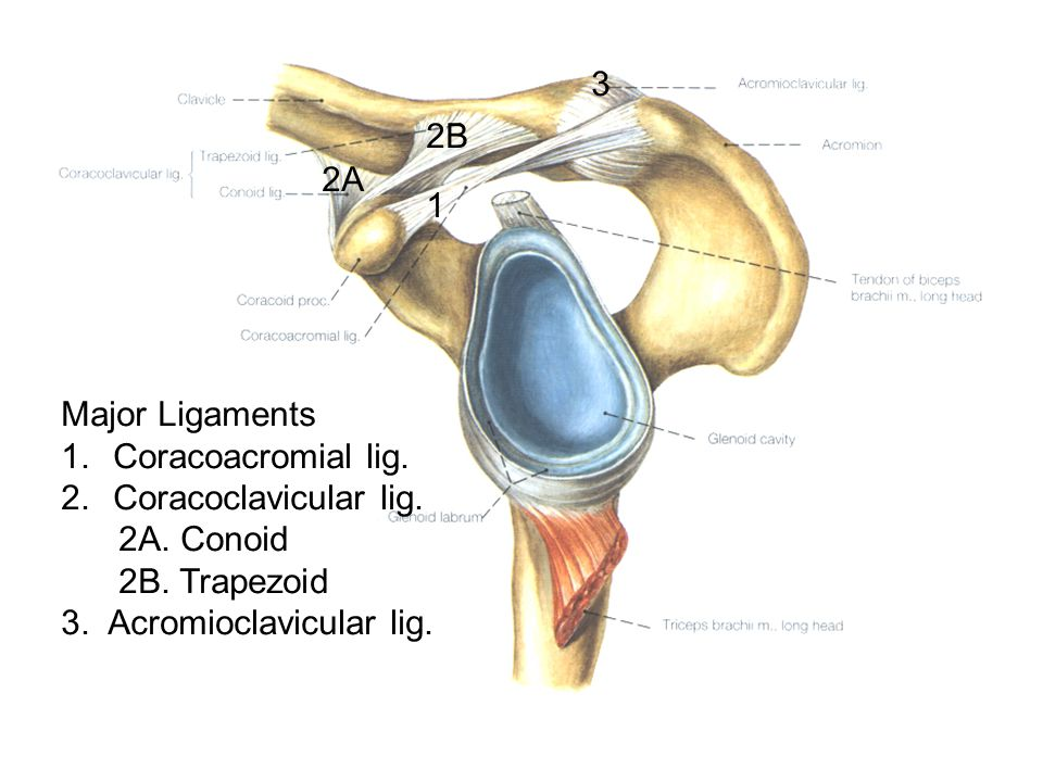 3 2B. 2A. 1. Major Ligaments. Coracoacromial lig. Coracoclavicular lig. 2A. Conoid. 2B. Trapezoid.