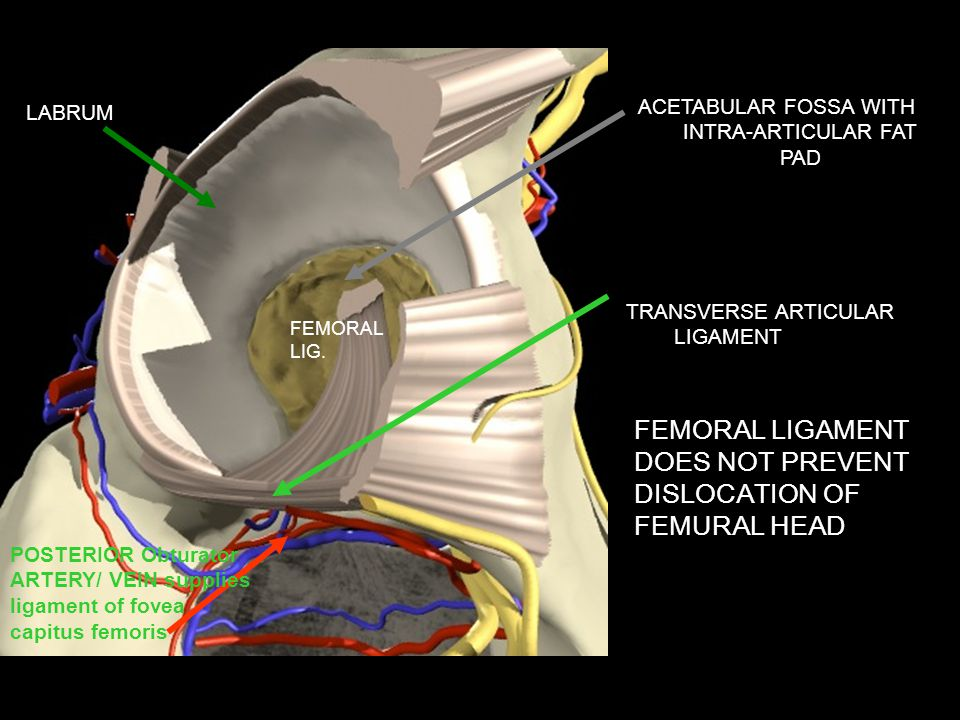 ACETABULAR FOSSA WITH INTRA-ARTICULAR FAT PAD