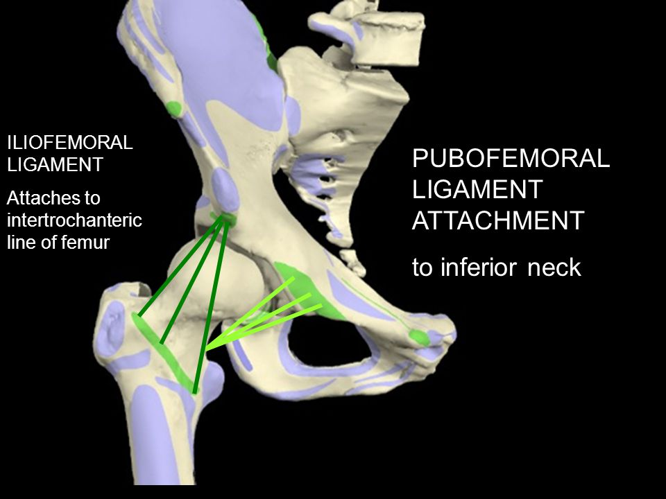 PUBOFEMORAL LIGAMENT ATTACHMENT