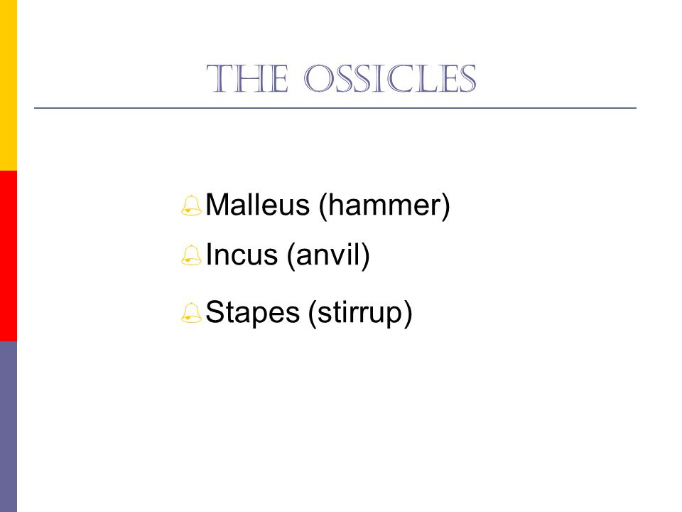 The ossicles Malleus (hammer) Incus (anvil) Stapes (stirrup)