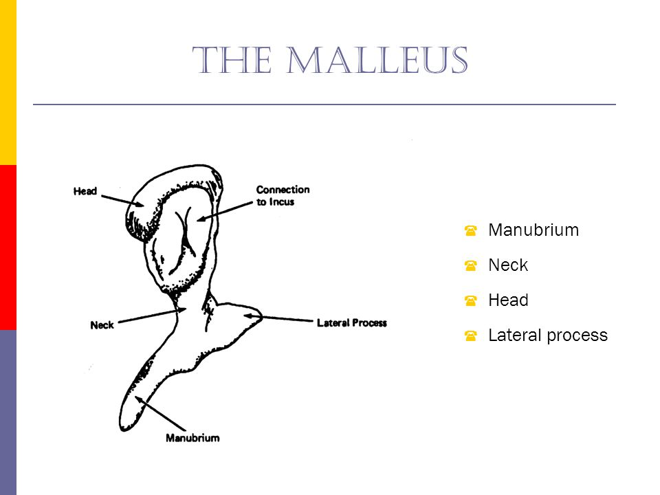 The malleus Manubrium Neck Head Lateral process
