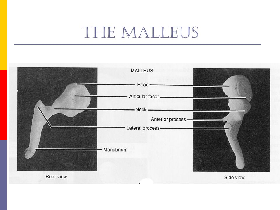 The malleus Show photo of malleus