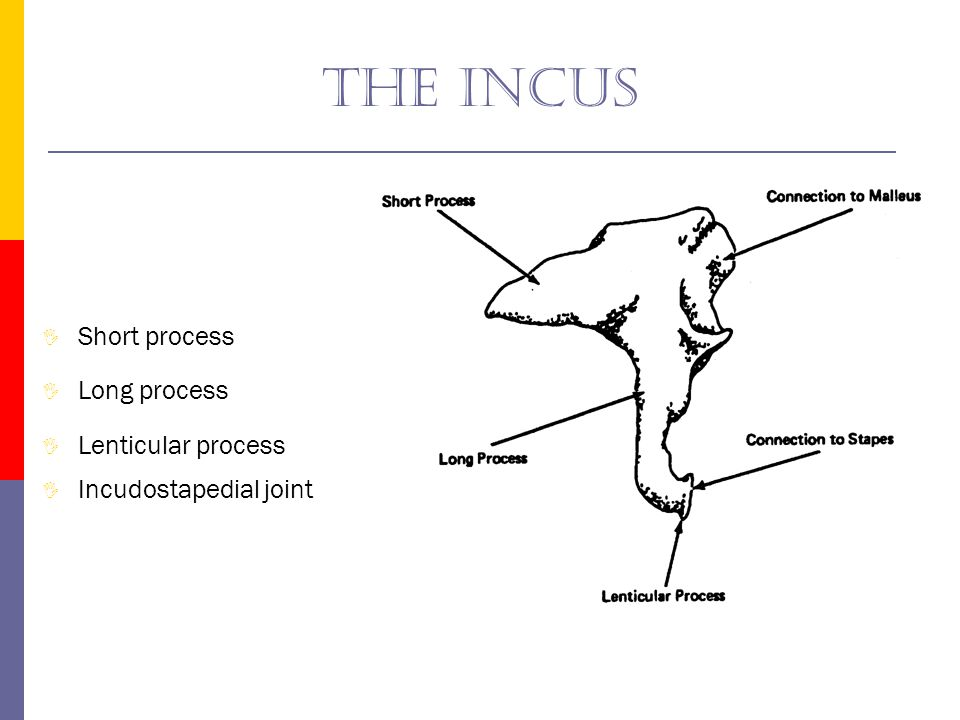 The incus Short process Long process Lenticular process