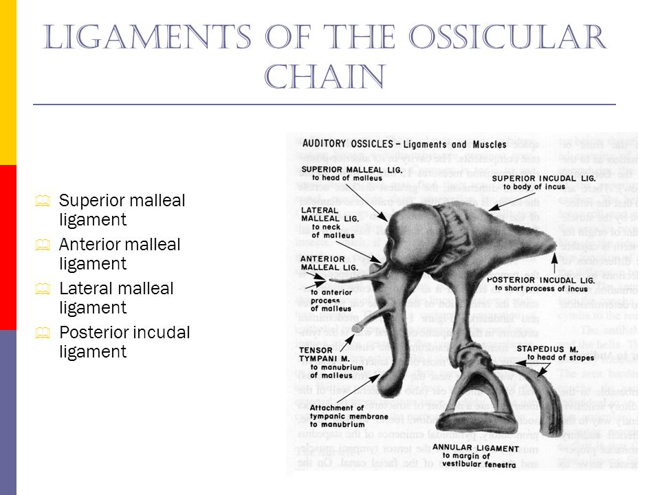 Ligaments of the ossicular chain