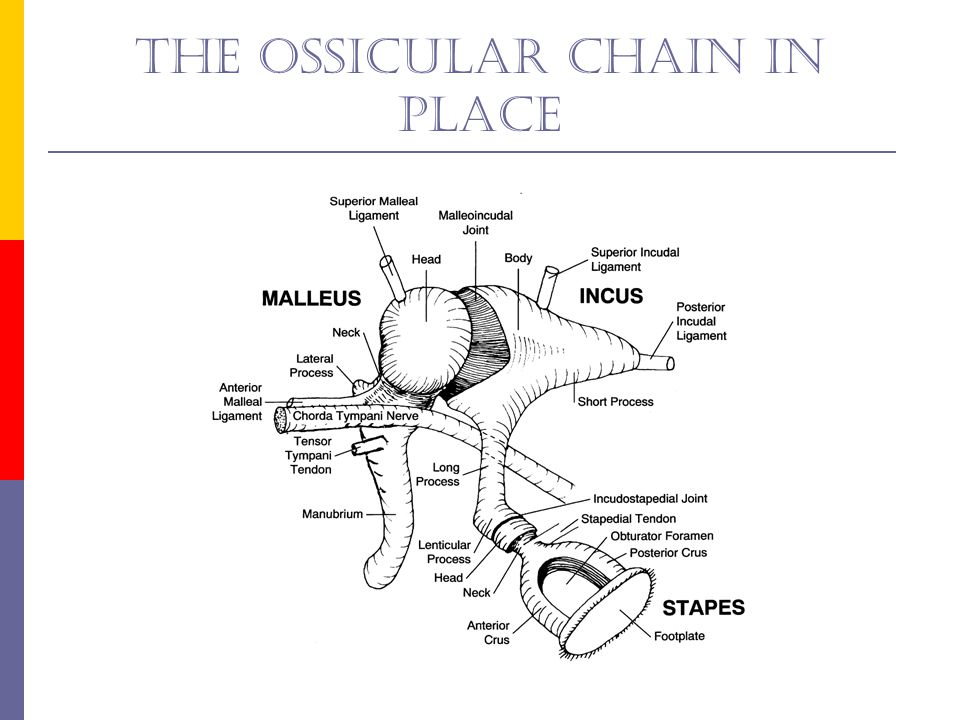 The ossicular chain in place