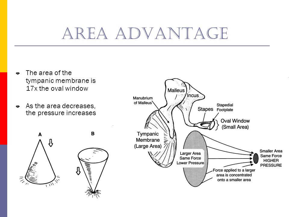 Area advantage The area of the tympanic membrane is 17x the oval window. As the area decreases, the pressure increases.