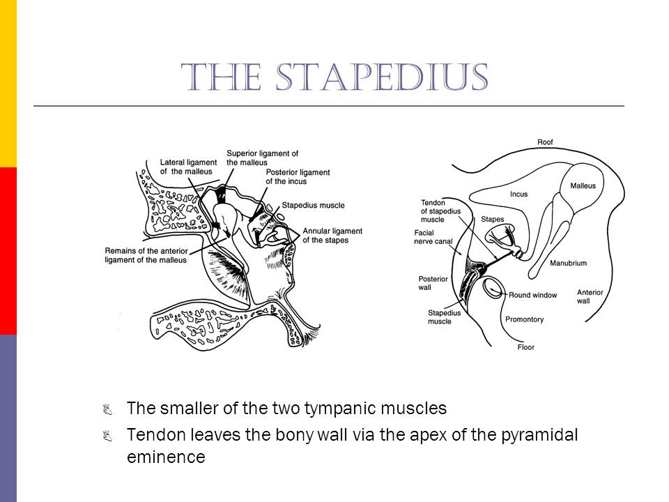 The stapedius The smaller of the two tympanic muscles