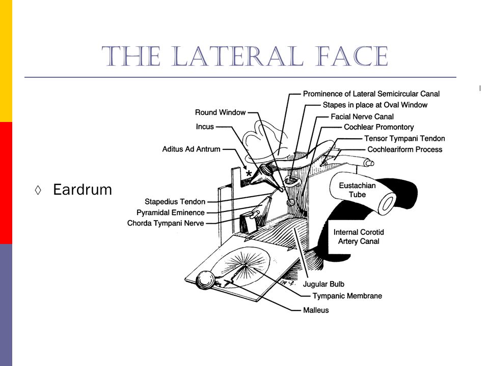 The lateral face Eardrum