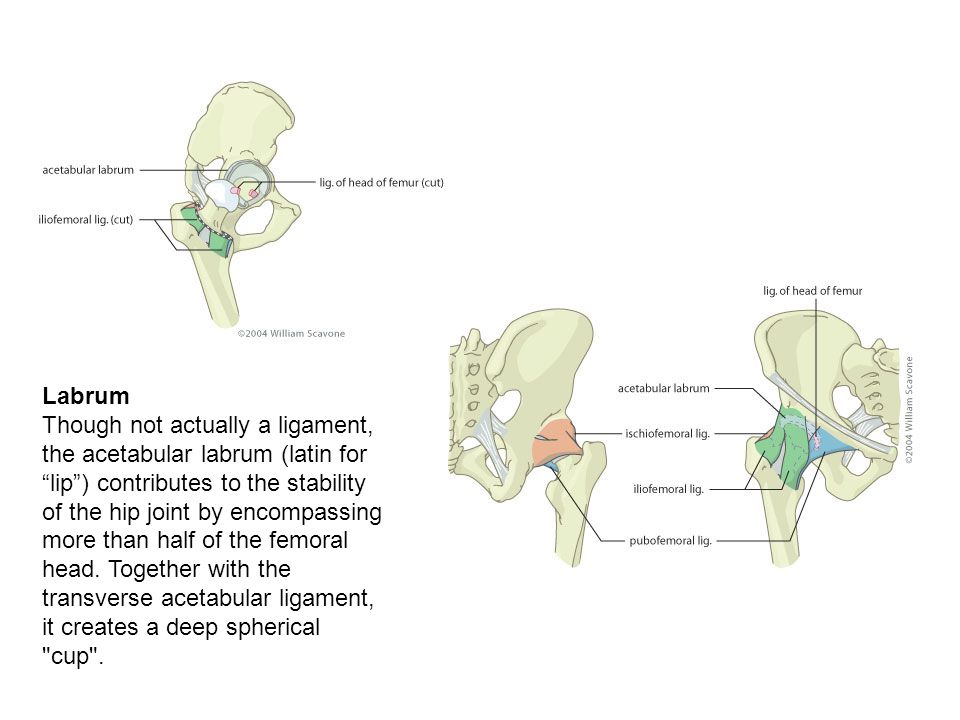 Labrum Though not actually a ligament, the acetabular labrum (latin for lip ) contributes to the stability of the hip joint by encompassing more than half of the femoral head.