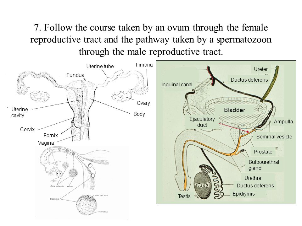 7. Follow the course taken by an ovum through the female reproductive tract and the pathway taken by a spermatozoon through the male reproductive tract.