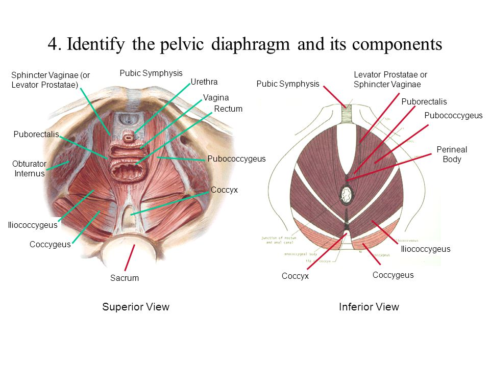 4. Identify the pelvic diaphragm and its components