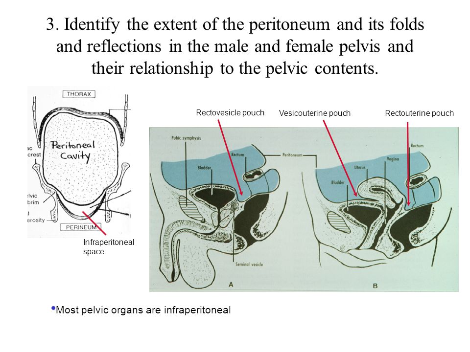 3. Identify the extent of the peritoneum and its folds and reflections in the male and female pelvis and their relationship to the pelvic contents.