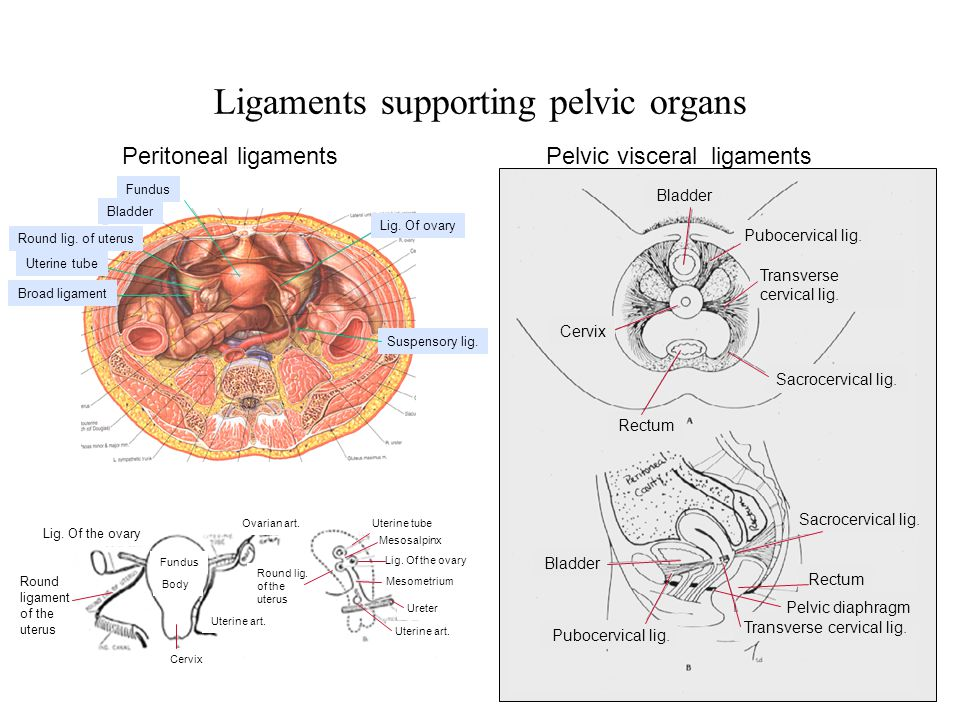 Ligaments supporting pelvic organs