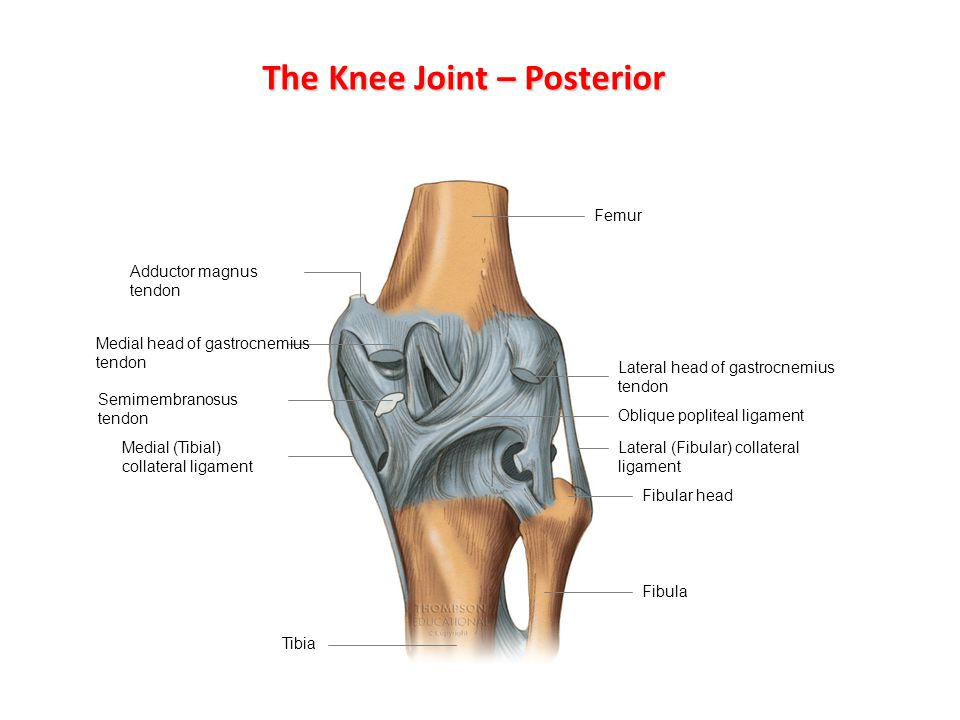 The Knee Joint – Posterior
