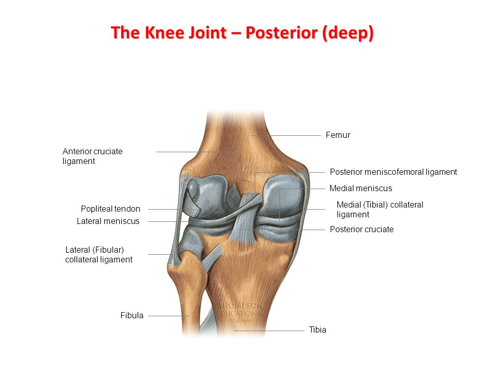 The Knee Joint – Posterior (deep)