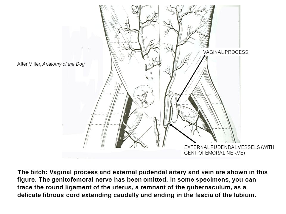 VAGINAL PROCESS After Miller, Anatomy of the Dog. EXTERNAL PUDENDAL VESSELS (WITH GENITOFEMORAL NERVE)