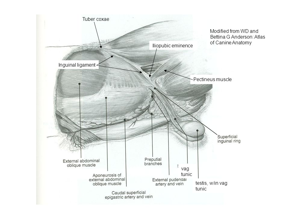 Tuber coxae Modified from WD and Bettina G Anderson: Atlas of Canine Anatomy. Iliopubic eminence. Inguinal ligament.