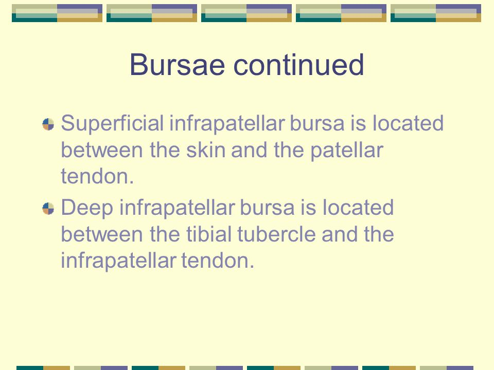 Bursae continued Superficial infrapatellar bursa is located between the skin and the patellar tendon.