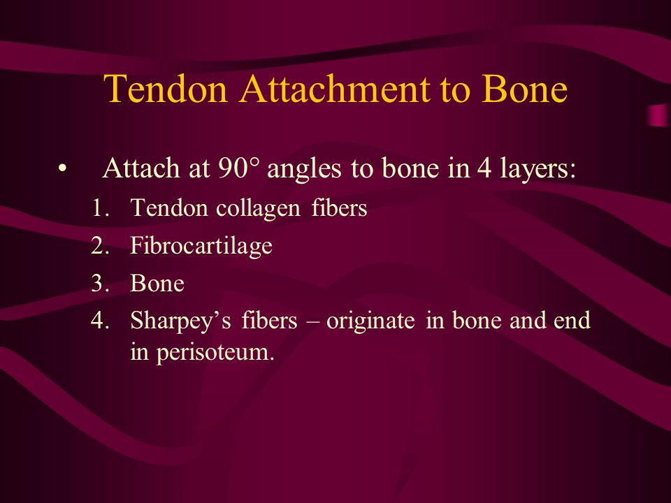 Tendon Attachment to Bone