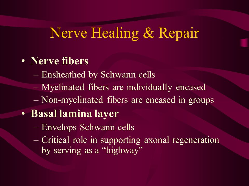 Nerve Healing & Repair Nerve fibers Basal lamina layer