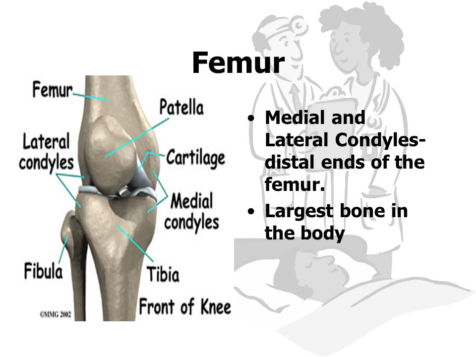 Femur Medial and Lateral Condyles- distal ends of the femur.