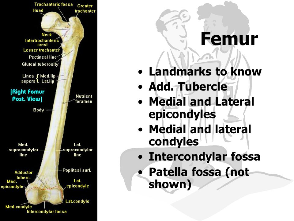Femur Landmarks to know Add. Tubercle Medial and Lateral epicondyles