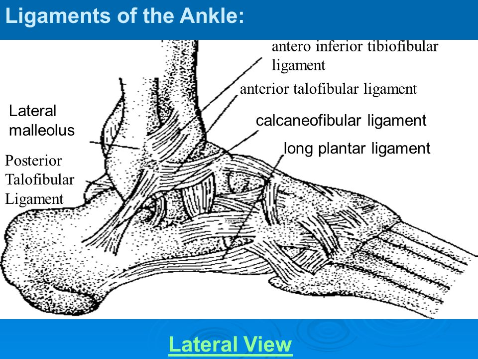Ligaments of the Ankle: