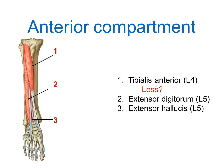Anterior compartment 1 Tibialis anterior (L4) Loss 2