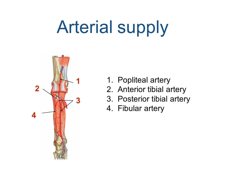 Arterial supply Popliteal artery 1 Anterior tibial artery 2