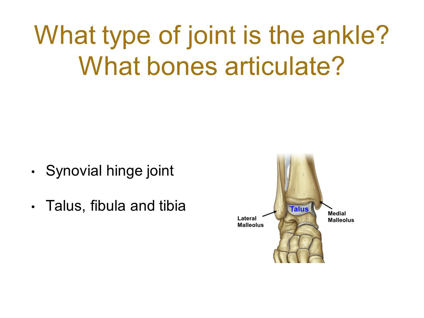 What type of joint is the ankle What bones articulate