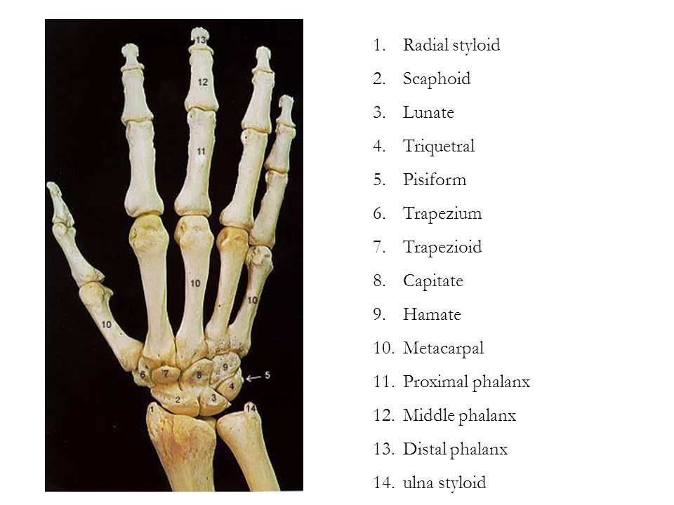 Radial styloid Scaphoid. Lunate. Triquetral. Pisiform. Trapezium. Trapezioid. Capitate. Hamate.