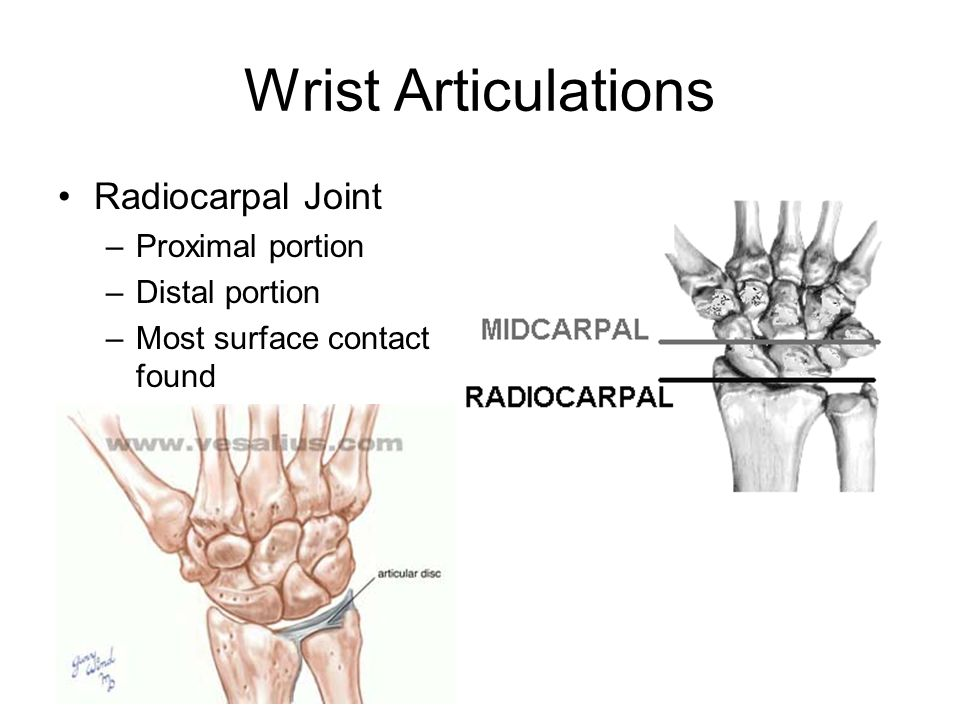 Wrist Articulations Radiocarpal Joint Proximal portion Distal portion