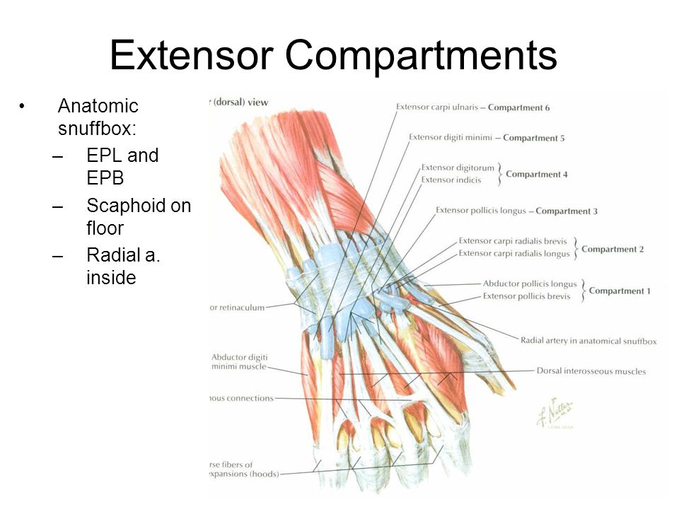 Extensor Compartments