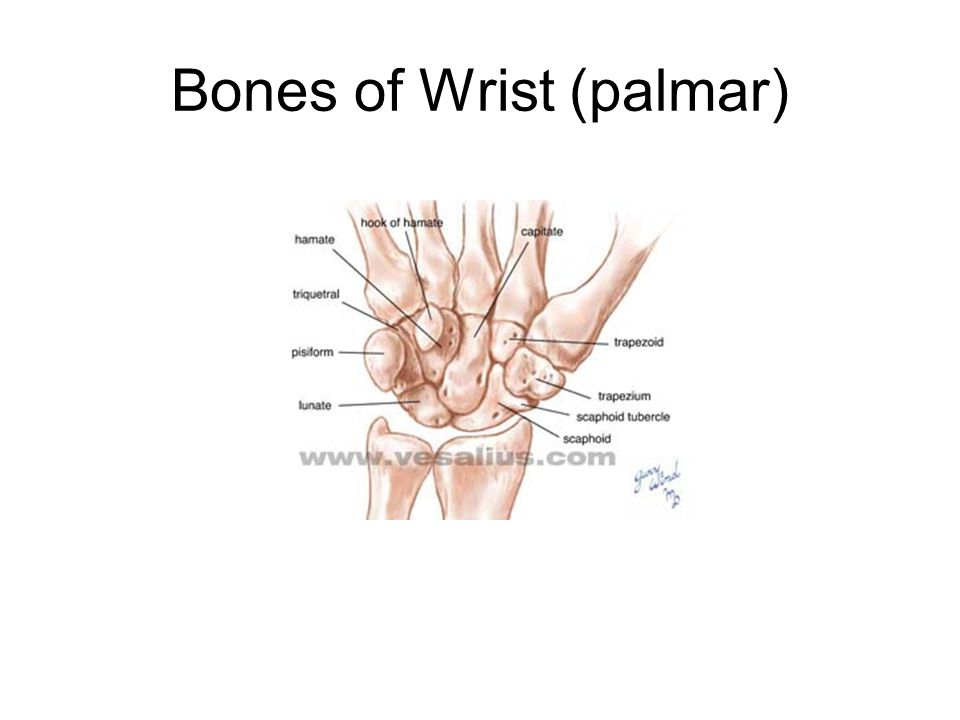 Bones of Wrist (palmar)