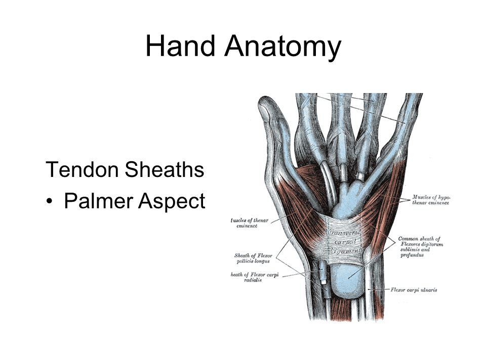 Hand Anatomy Tendon Sheaths Palmer Aspect