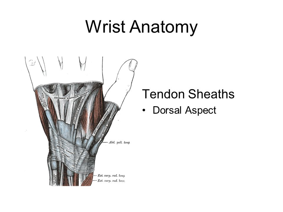 Wrist Anatomy Tendon Sheaths Dorsal Aspect