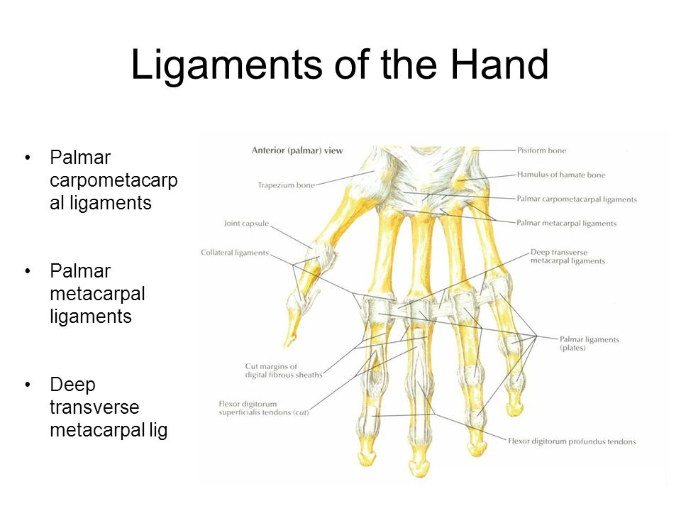 Ligaments of the Hand Palmar carpometacarpal ligaments