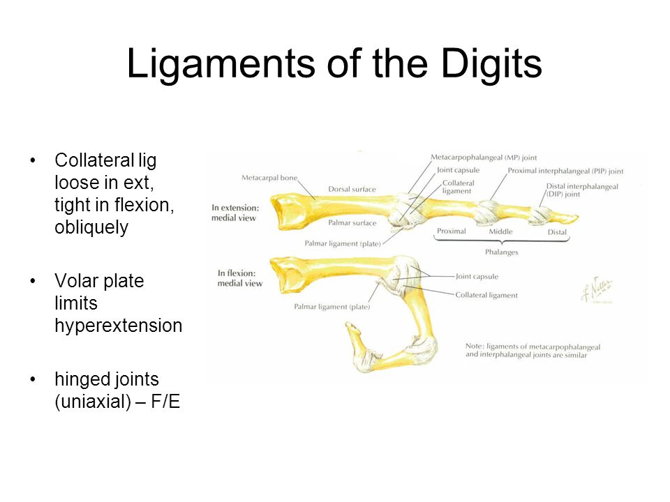 Ligaments of the Digits