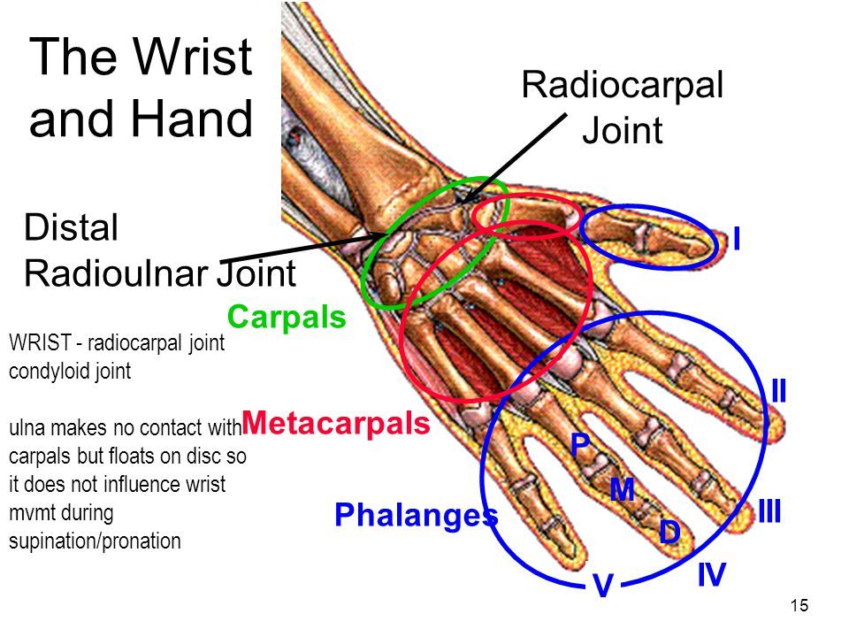 The Wrist and Hand Radiocarpal Joint Distal Radioulnar Joint I Carpals