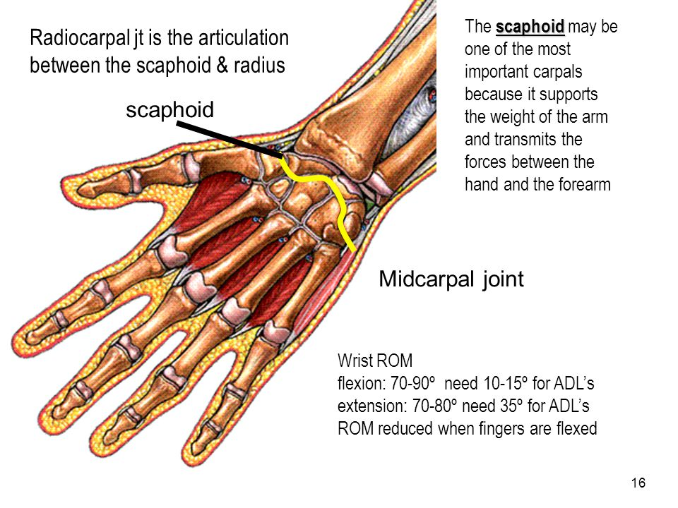 Radiocarpal jt is the articulation between the scaphoid & radius