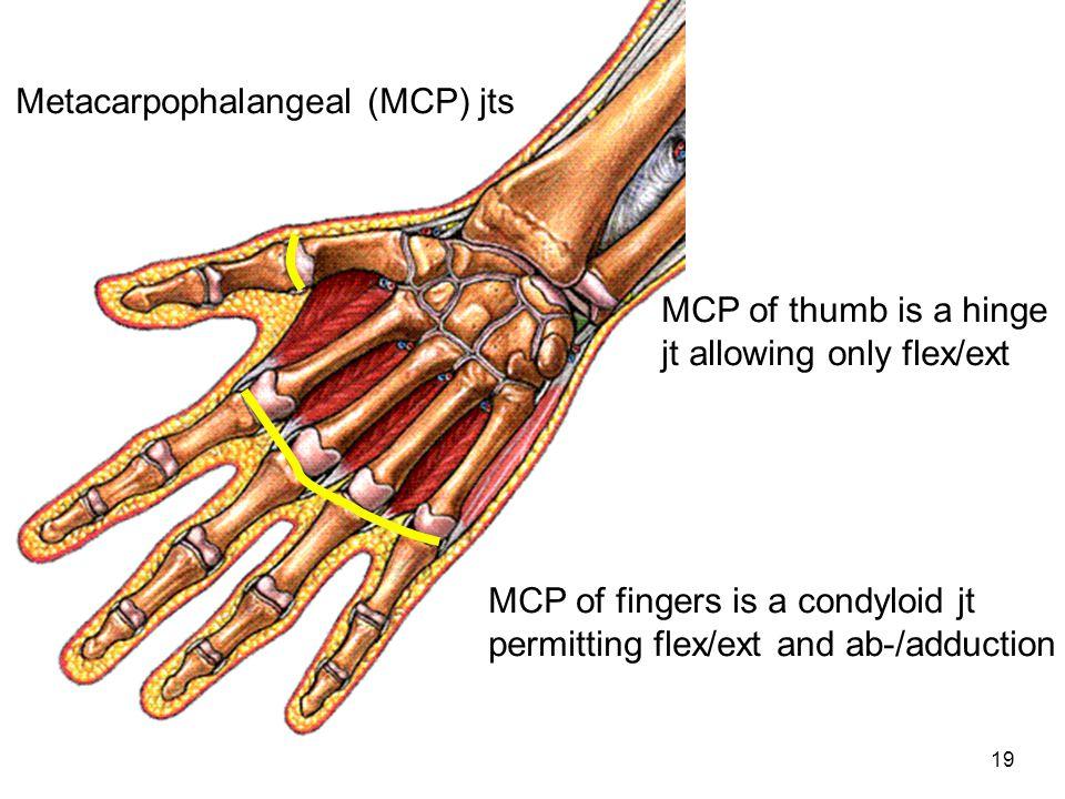 Metacarpophalangeal (MCP) jts