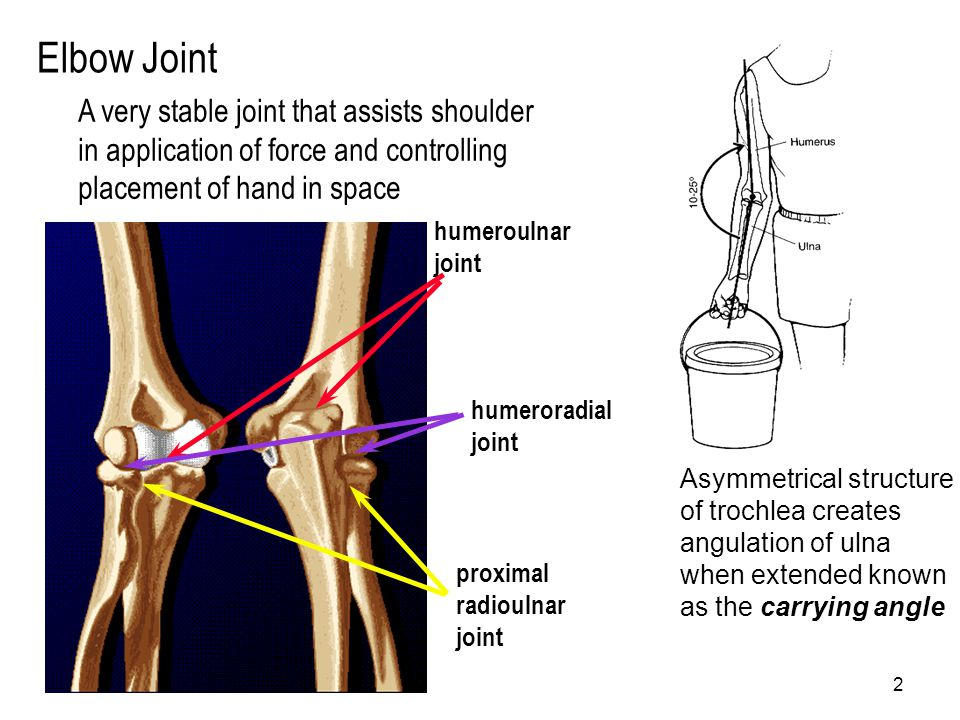 Elbow Joint A very stable joint that assists shoulder