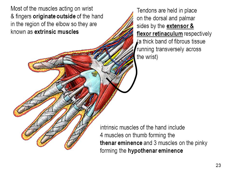 Most of the muscles acting on wrist