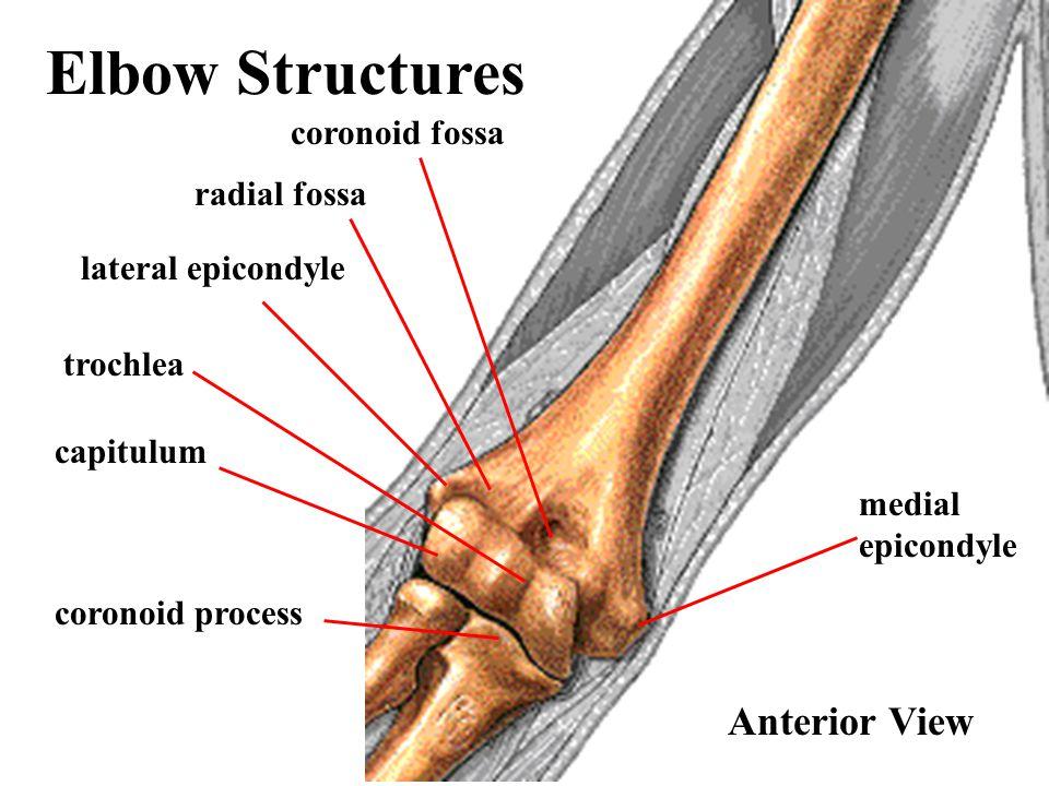 Elbow Structures Anterior View coronoid fossa radial fossa