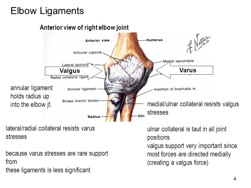 Elbow Ligaments Anterior view of right elbow joint annular ligament